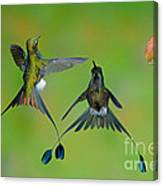 Booted Racket-tail Hummingbird Males Canvas Print