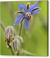 Borage Wildflower - Borage Officinalis - Annual Herb Canvas Print