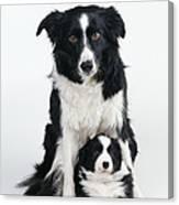 Border Collie Dog & Puppy Canvas Print