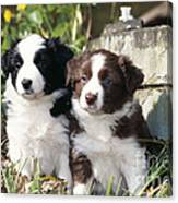 Border Collie Dog, Two Puppies Canvas Print