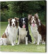 Border Collie Dogs Canvas Print