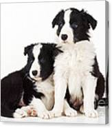 Border Collie Dogs, Two Puppies Canvas Print