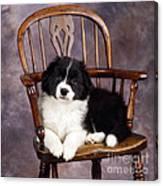 Border Collie Puppy On Chair Canvas Print