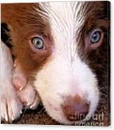 Border Collie Tan And White Pup Canvas Print