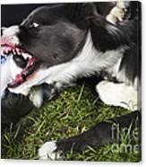 Border Collies Playing Canvas Print