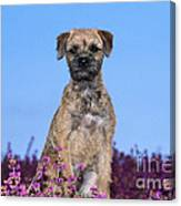 Border Terrier Dog, In Heather Canvas Print