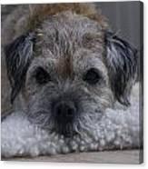 Border Terrier Netherlands Canvas Print