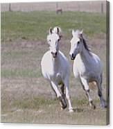 Lipizzaner Stallions Canvas Print