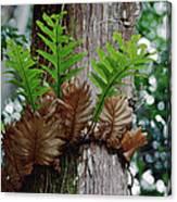 Borneo Fern A Primitve Ant Plant Canvas Print