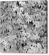 Boston Ivy In Monochrome Canvas Print