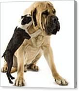 Boston Terrier And Mastiff Canvas Print