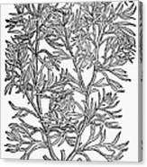 Botany: African Rue, 1597 Canvas Print