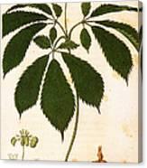 Botany: Ginseng Canvas Print