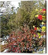 Bottlebrush In Sierra Nevada Foothills In Winter In Park Sierra-ca Canvas Print
