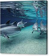 Bottlenose Dolphins In Shallow Water Canvas Print