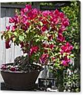Bougainvillea Bonsai Tree Canvas Print