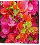 Bougainvillea Multi-colored Flowers Canvas Print