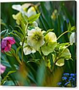 Bouquet Of Lenten Roses Canvas Print