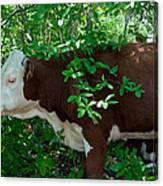 Bovine In The Shade Canvas Print