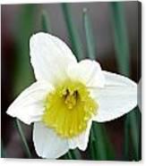 Bowed Daffodil Canvas Print