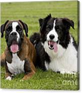 Boxer And Border Collie Canvas Print
