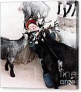 Boy Surrounded By Hungry Goats Canvas Print
