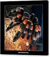 Brachypelma Smithi - Redknee Tarantula Canvas Print