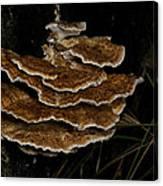 Bracket Fungus - Coltricia Canvas Print