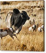Brahma Bull Meets The Pronghorn Canvas Print