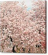 Branch Brook Cherry Blossoms Iv Canvas Print