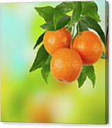Branch Of Tangerines Canvas Print