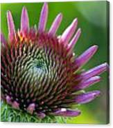 Brand New Coneflower Canvas Print