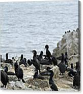 Brandt's Cormorant Colony At Point Lobos State Natural Reserve Canvas Print