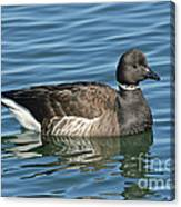 Brant On Calm Water Canvas Print