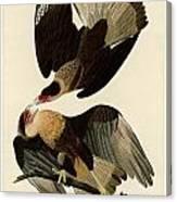 Brasilian Caracara Eagle Canvas Print
