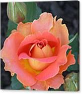 Brass Band Rose Canvas Print