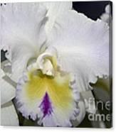 Brassocattleya Orchid 5292 Canvas Print