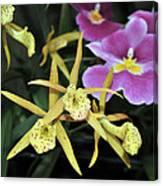 Brassolaelia Yellow Bird And Pink Miltoniopsis  Canvas Print