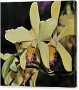 Brassolaeliocattleya Grodsky's Gold Canvas Print