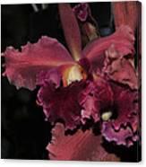 Brassolaeliocattleya Helen Huntington  Chevy Chase Canvas Print