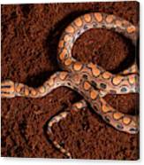 Brazilian Rainbow Boa Canvas Print