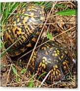 Breeding Box Turtles Canvas Print