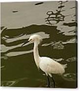 Breeding Egret Canvas Print