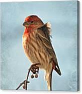 Breezy Morning Housefinch Canvas Print