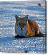 Brer Fox Canvas Print