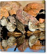 Brewers Sparrows At Waterhole Canvas Print