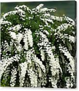Bridal Wreath Spirea - White Flowers - Florist Canvas Print
