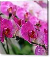 Bright And Purple Butterfly Orchids Canvas Print