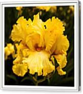 Bright Bright Spring Yellow Iris Flower Fine Art Photography Print  Canvas Print