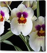 Bright Miltonia Orchids Canvas Print